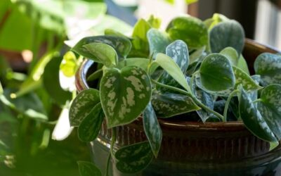 Silver Pothos – Featured Plant from Jeri's Jungle